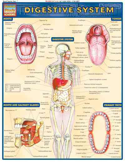Digestive System Laminated Reference Guide By Barcharts, Inc. (COM)